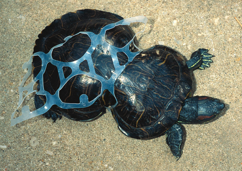 Terrapin Trapped in Plastic