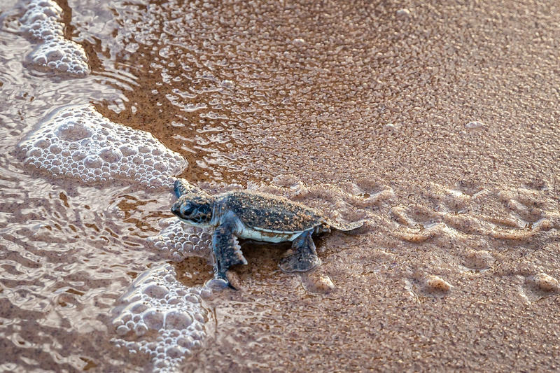 Baby Leatherback Sea Turtle in French GuianaExpédition Tortue en Guyane